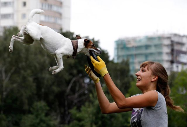 A dog catches a frisbee during the Russian dog frisbee championship in Moscow August 7, 2011. Dogs and their owners took part in a variety of distance and accuracy competitions during the championship to test their frisbee skills. REUTERS/Sergei Karpukhin (RUSSIA - Tags: ANIMALS SOCIETY IMAGES OF THE DAY)