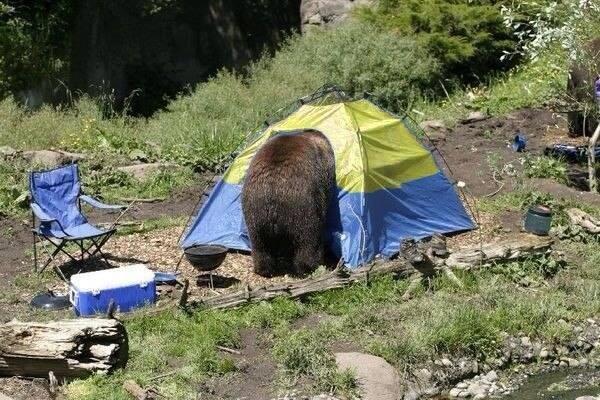 medved-zhivnost-palatka-nikakoj-politiki-1228093