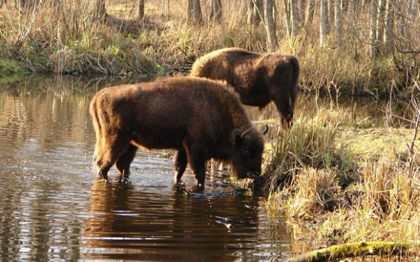 Embargoed to 1700 Monday October 5 Undated handout photo issued by the Science Media Centre of bison around Chernobyl as animals are thriving since the area was deserted by humans after the world's worst nuclear accident, a study shows. PRESS ASSOCIATION Photo. Issue date: Monday October 5, 2015. See PA story ENVIRONMENT Chernobyl. Photo credit should read: Tatyana Deryabina/Science Media Centre/PA Wire NOTE TO EDITORS: This handout photo may only be used in for editorial reporting purposes for the contemporaneous illustration of events, things or the people in the image or facts mentioned in the caption. Reuse of the picture may require further permission from the copyright holder.