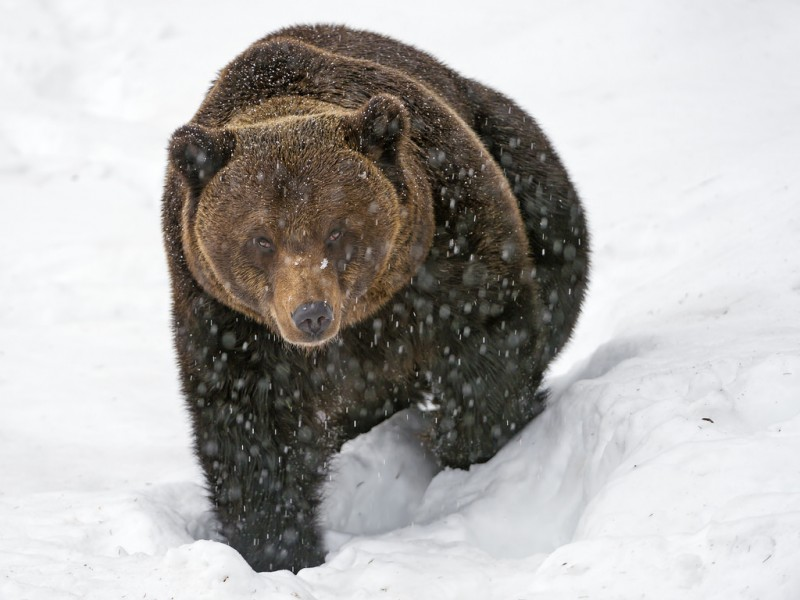 того, фото бурый медведь в снегу исполнения русских цветочных
