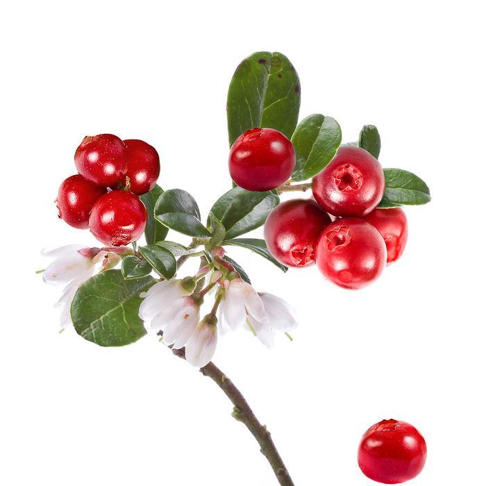 картинки ягода брусника на белом фоне