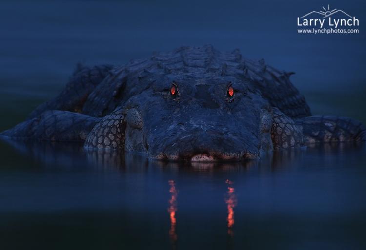 American Alligator at Nite