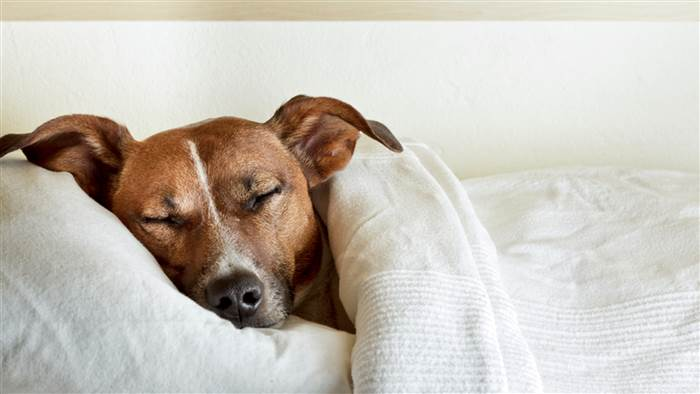 dog-sleeping-in-bed-today-stock-tease-151211_cd9853550900e9ecd3678bd8dd6ead7b-today-inline-large