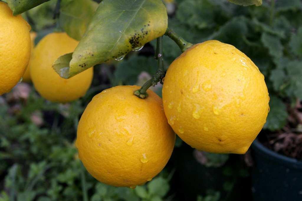 Лимонное-дерево-с-лимоном-фото