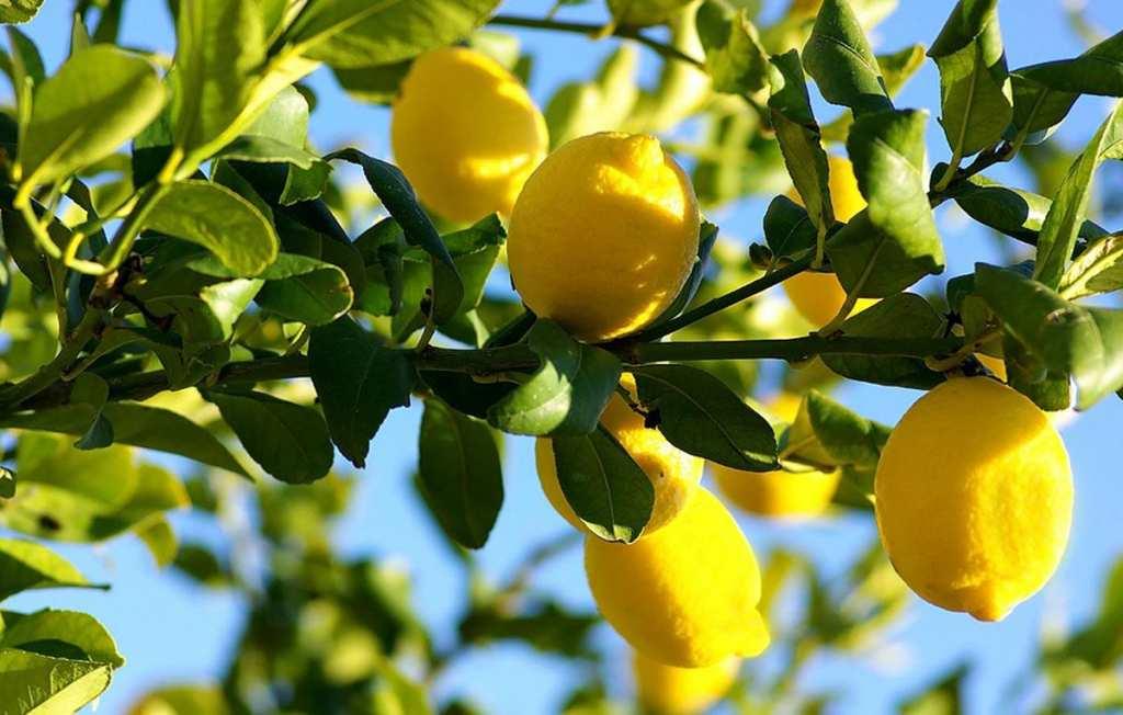 Дерево с лимонами картинки, весну картинка
