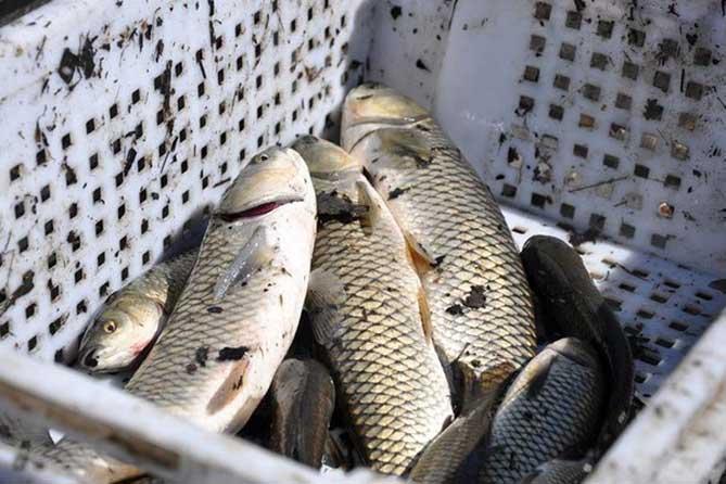 ryba-tolstlobik-ulov-neskolko-ryb