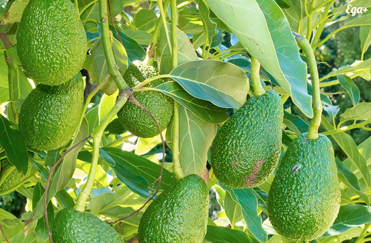 avocado-big