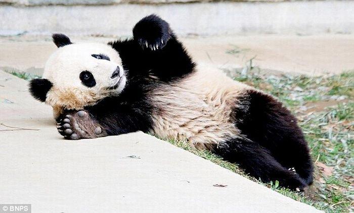 Panda_12