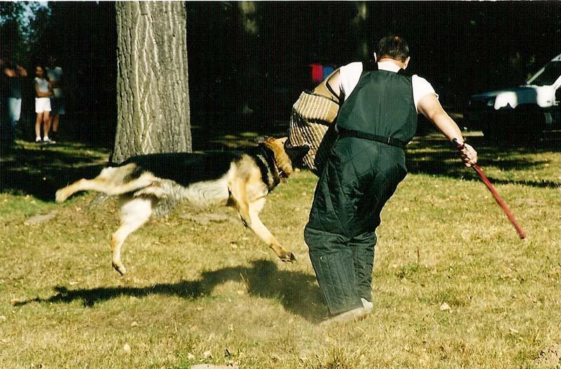 dog-attack-photo-1-working-german-shepherd breeding-napor