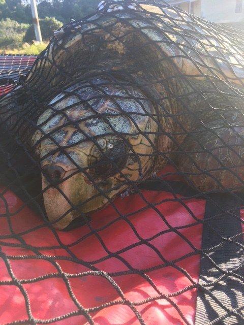 Рыбак увидел черепаху, и она показалась ему странной. Но когда он ее поймал, забил тревогу
