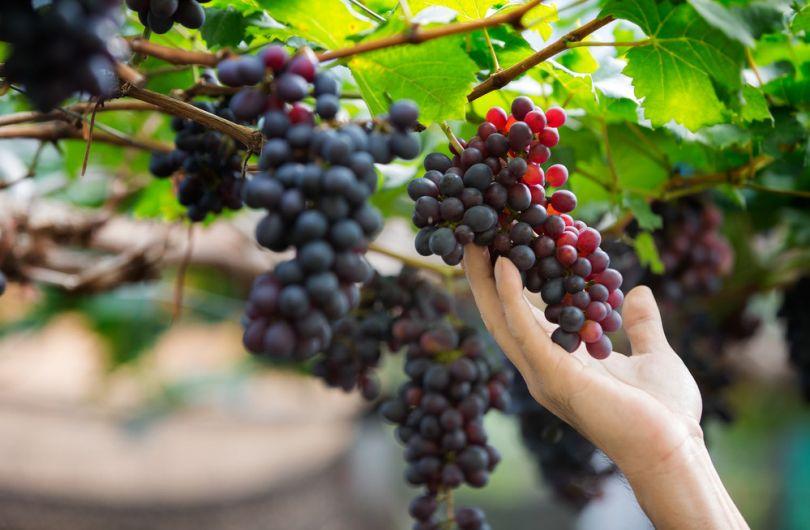 Чем вреден виноград для здоровья? 5 причин отказаться от него