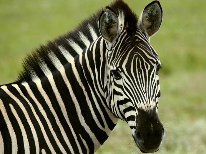 Студент разоблачил дирекцию зоопарка выдававшую за зебру раскрашенного осла